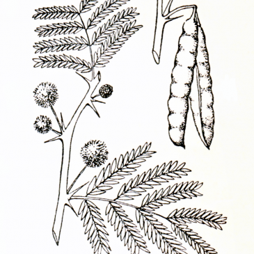 Acacia Leaves and Pods Graphic