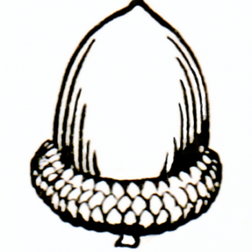 Acorn Graphic